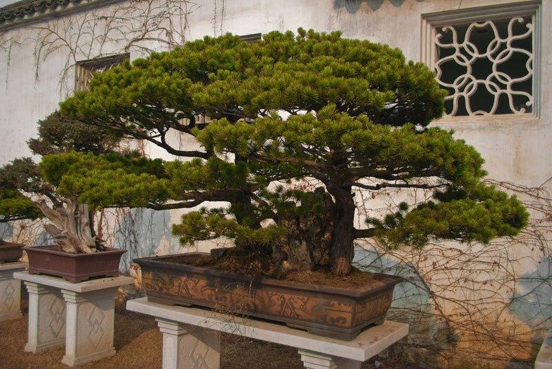 20 bosques de bonsais que vão parecer autênticas obras de arte em miniatura 14