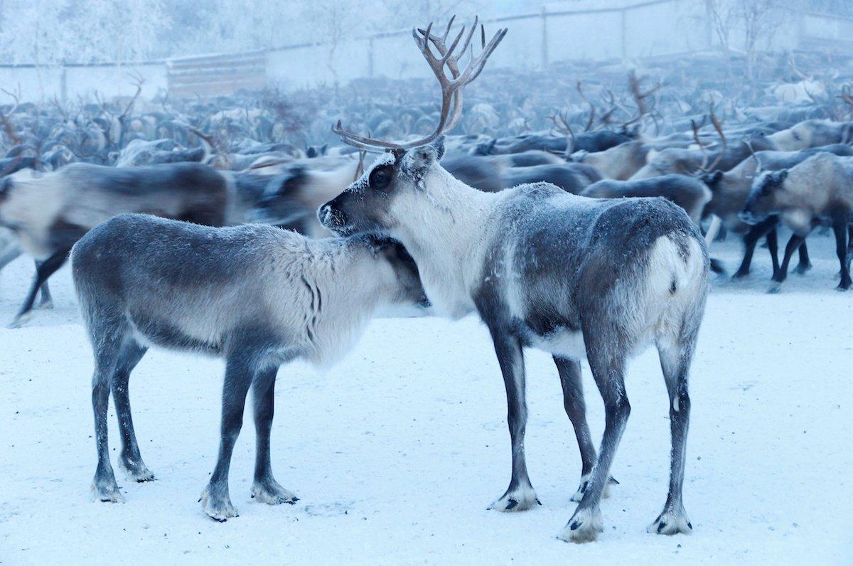 Como é trabalhar na pecuária de renas no ártico, Rússia 03