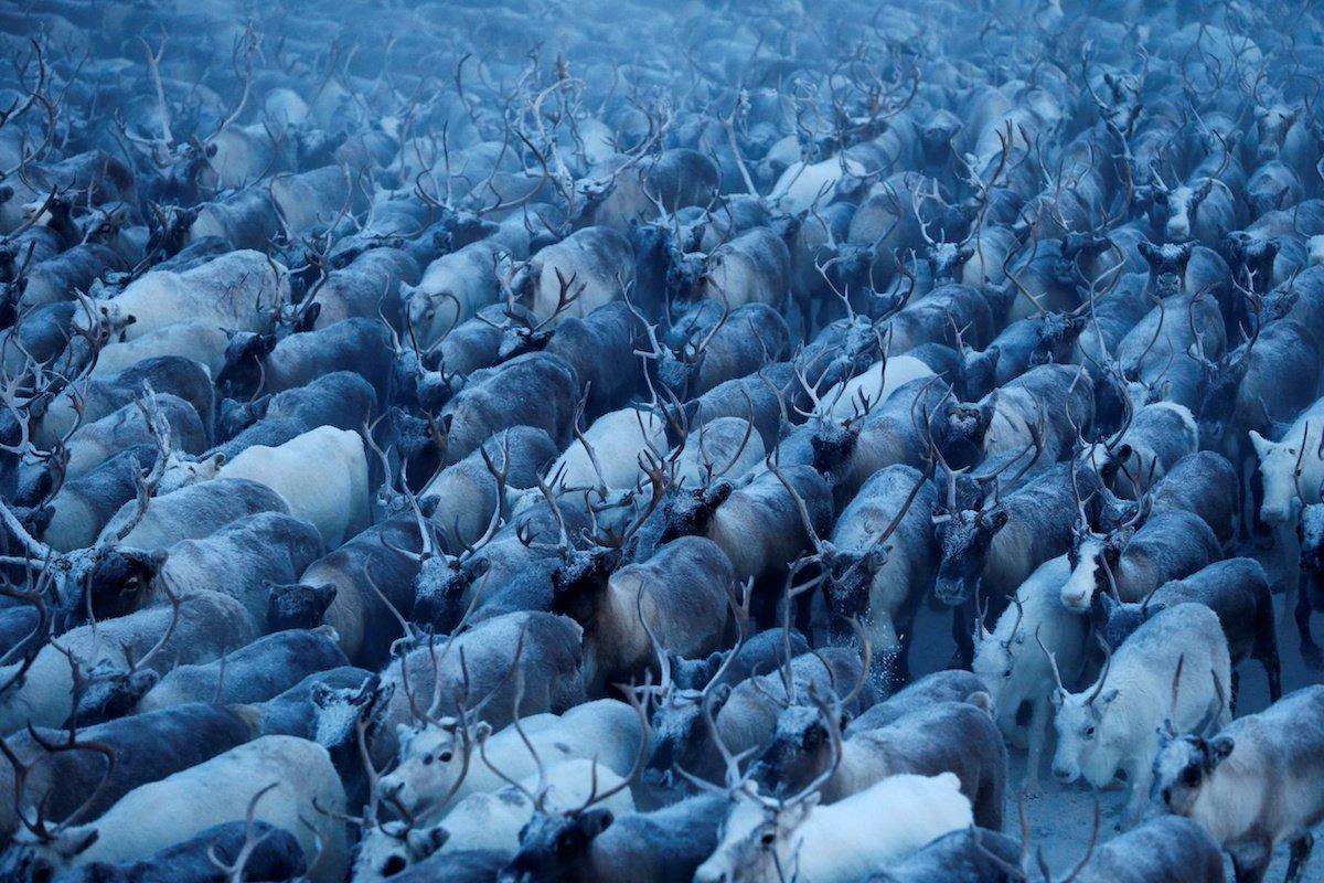 Como é trabalhar na pecuária de renas no ártico, Rússia 04