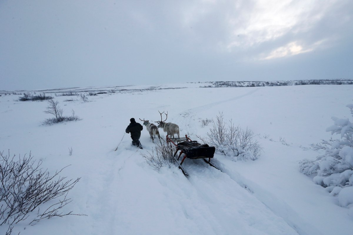 Como é trabalhar na pecuária de renas no ártico, Rússia 05