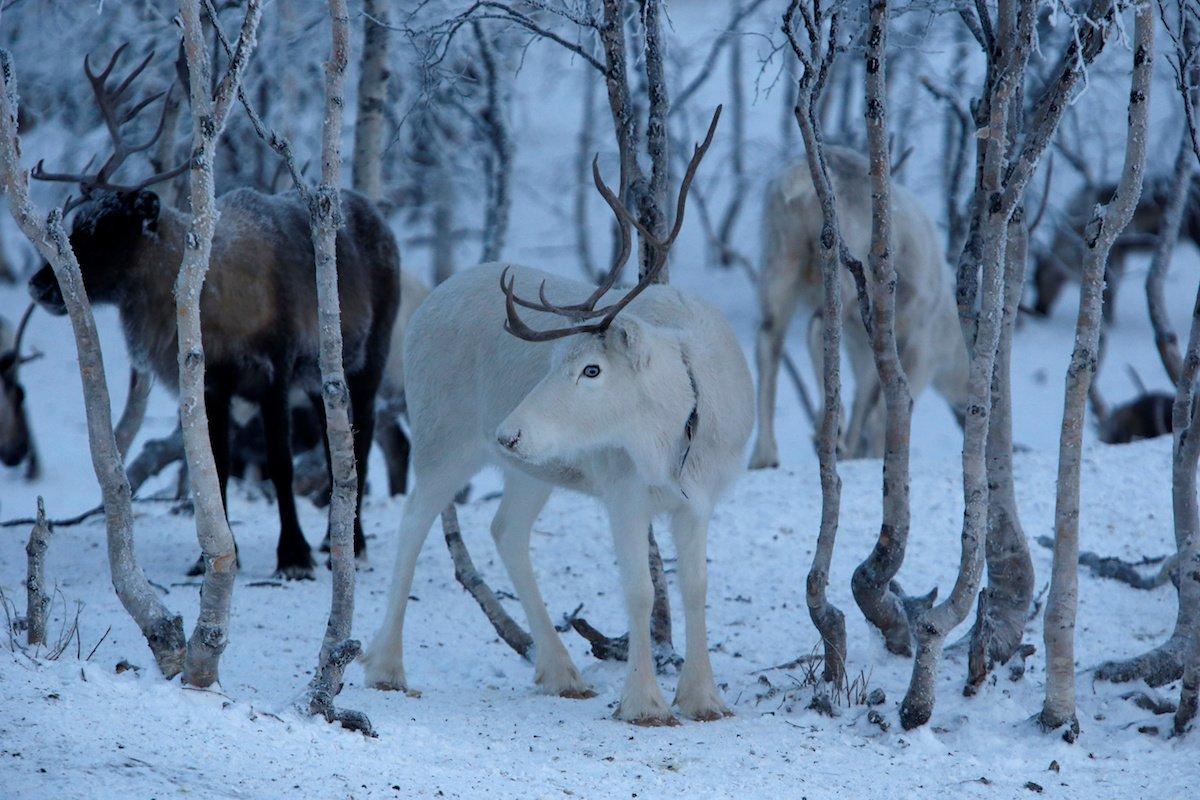 Como é trabalhar na pecuária de renas no ártico, Rússia 07
