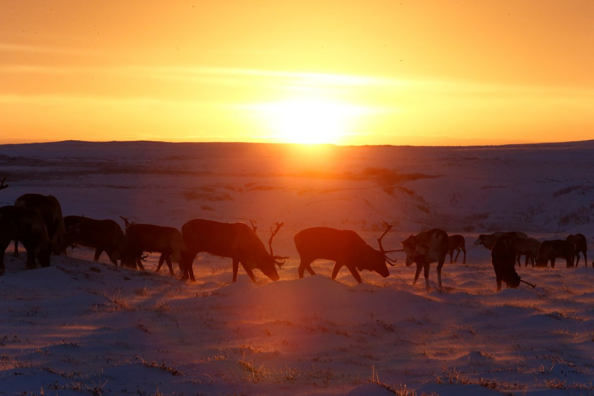Como é trabalhar na pecuária de renas no ártico, Rússia 08