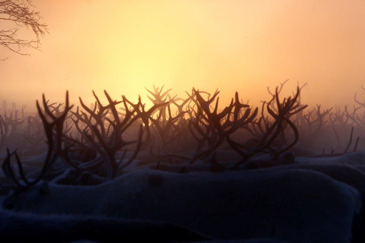 Como é trabalhar na pecuária de renas no ártico, Rússia 09