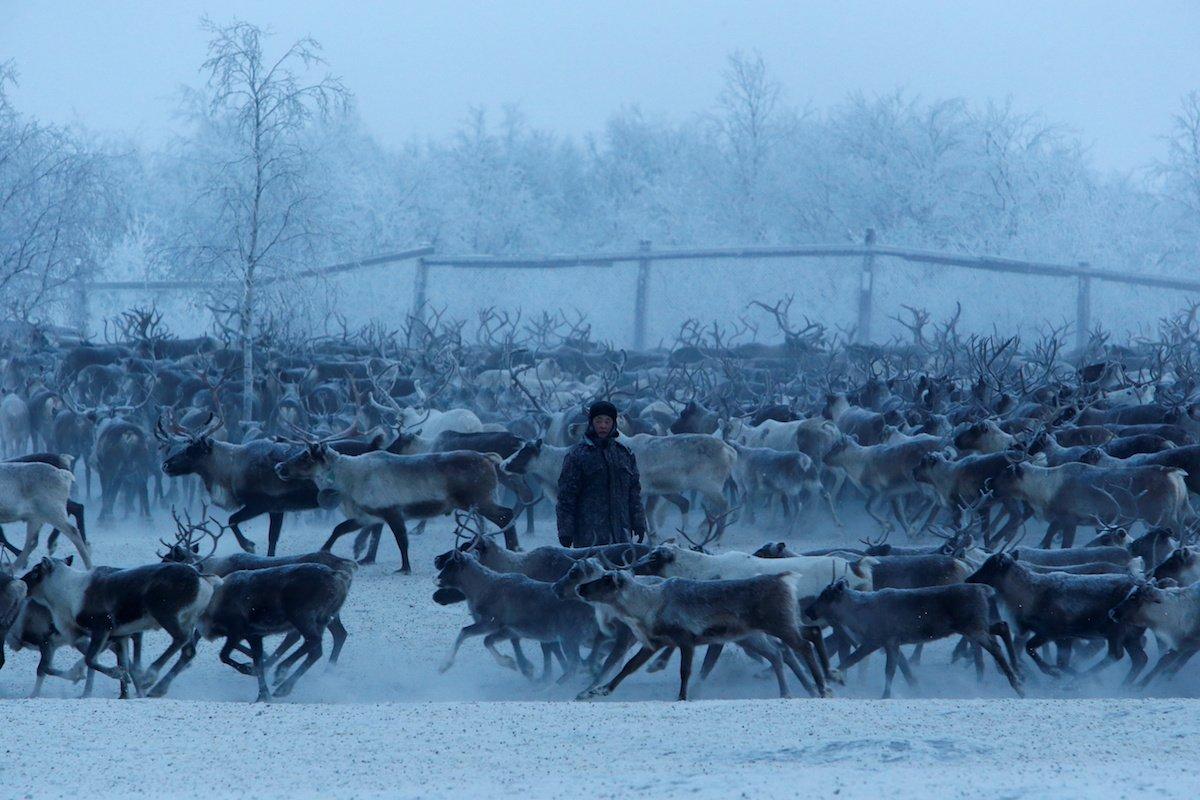 Como é trabalhar na pecuária de renas no ártico, Rússia 10