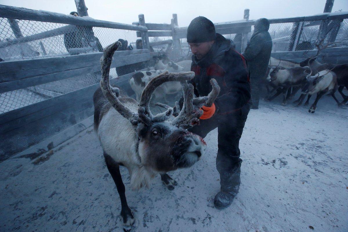 Como é trabalhar na pecuária de renas no ártico, Rússia 11