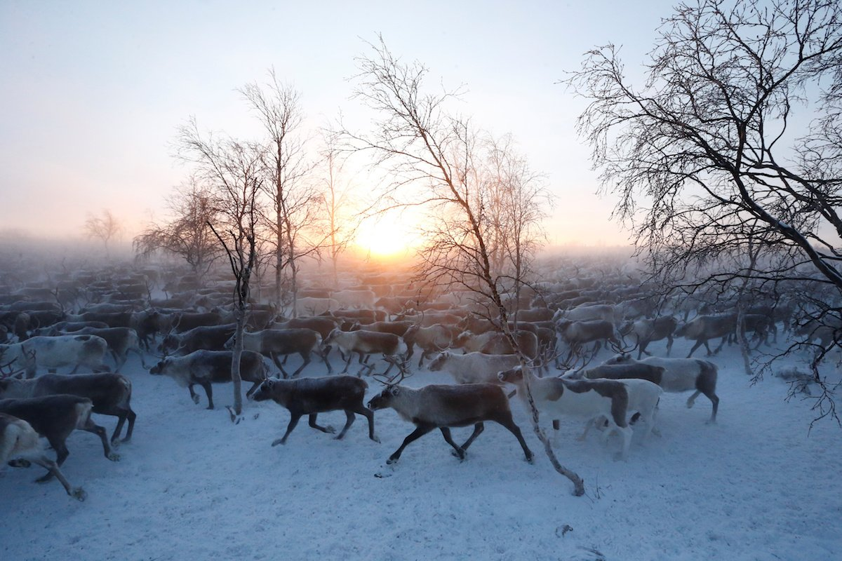 Como é trabalhar na pecuária de renas no ártico, Rússia 12