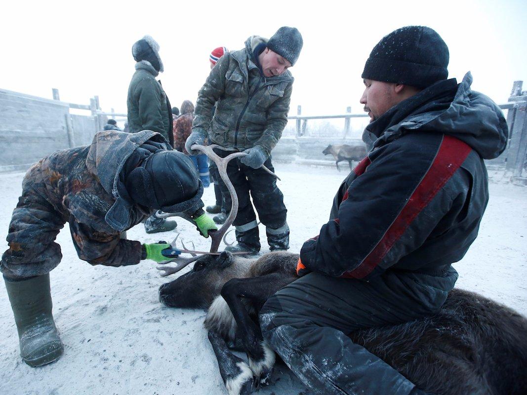 Como é trabalhar na pecuária de renas no ártico, Rússia 17