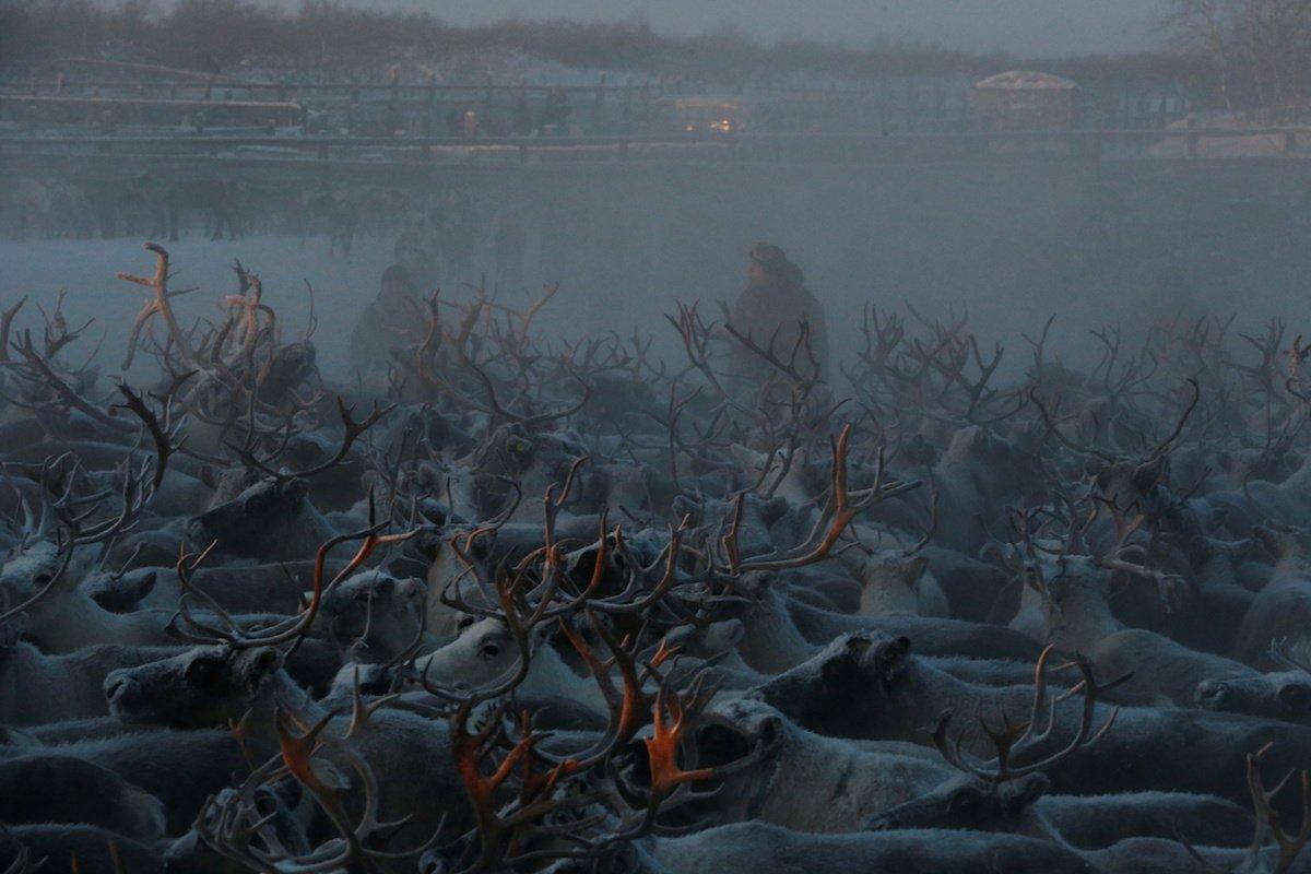 Como é trabalhar na pecuária de renas no ártico, Rússia 18