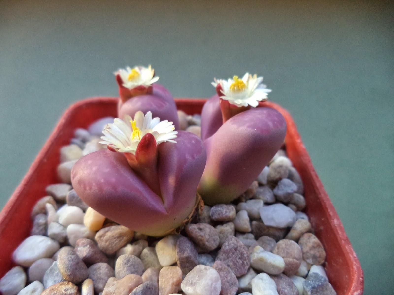Flor de pedra (Lithops Optica.) para as moças, abraços para os amigos, boa semana a todos!
