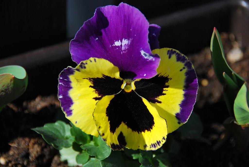 Amor-perfeito (Viola x wittrockiana) para as moças, abraços para os amigos, boa semana a todos!