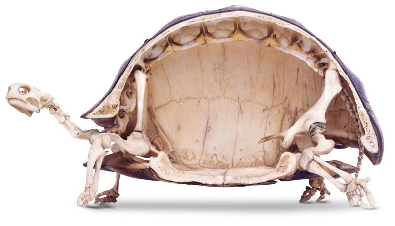 Já viu um esqueleto de tartaruga?