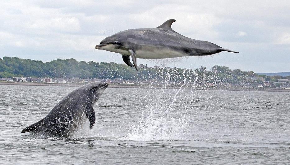 Golfinho voador.