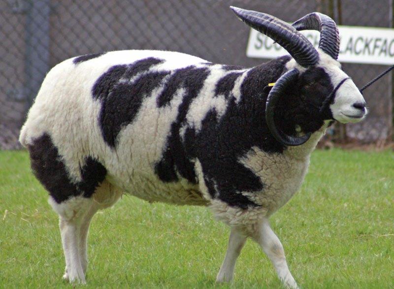 Este carneiro parece uma vaca.