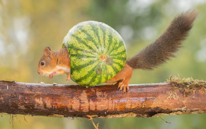 Esquilo tímido que não gosta de andar pelado.