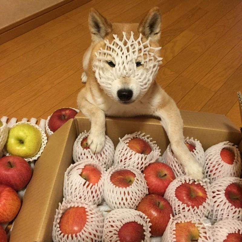 Cão-maçã.