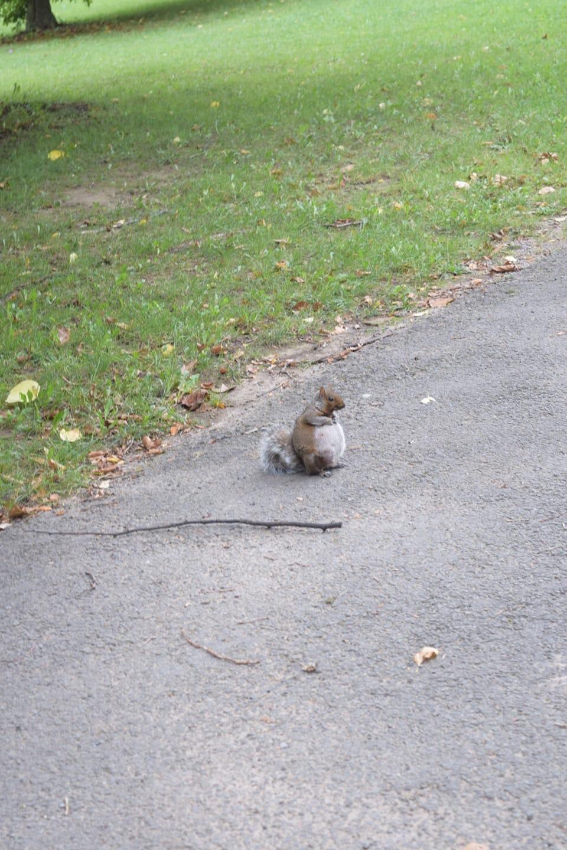 Esquilo prenha.