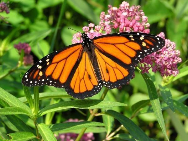 Monsanto destruiu ?acidentalmente? 90% da população das borboletas monarca