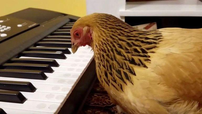 Galinha patriótica toca hino npo piano