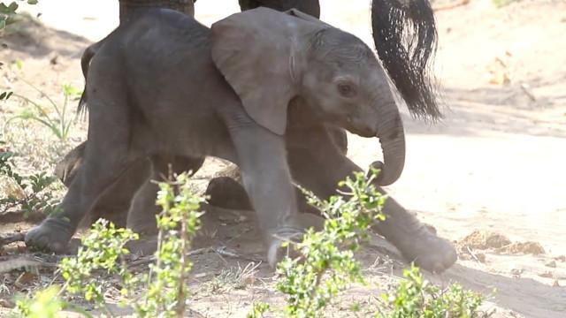 Primeiros passos de uma elefantinha