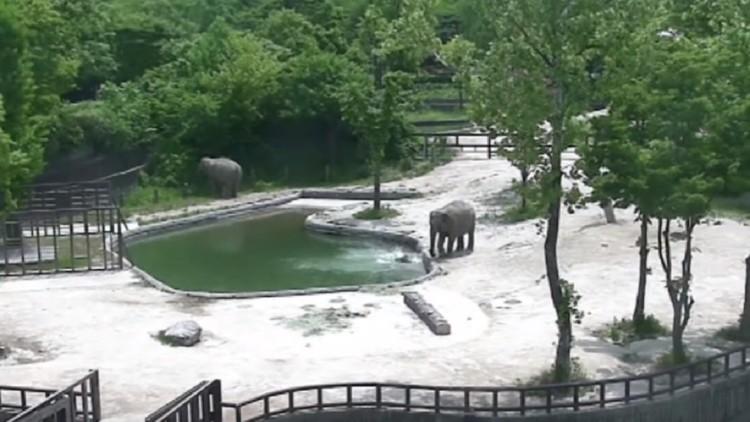 Bebê elefante cai em um tanque e dois animais adultos correm a salvá-lo