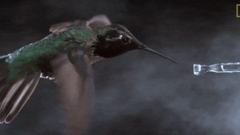 Teste em túnel de vento gravado a 3.000 FPS revela os segredos do impressionante adejo do colibri