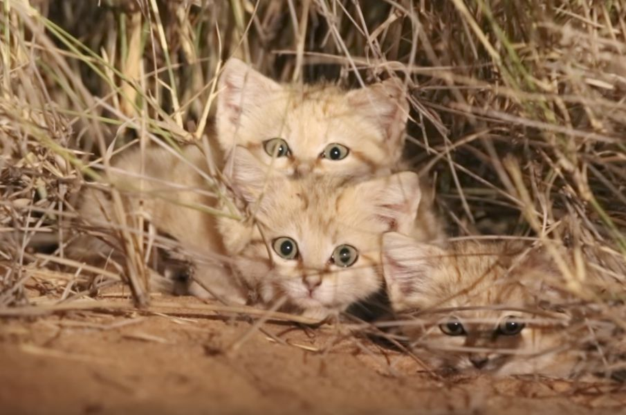 Este é o primeiro vídeo na história do adorável gato das areias