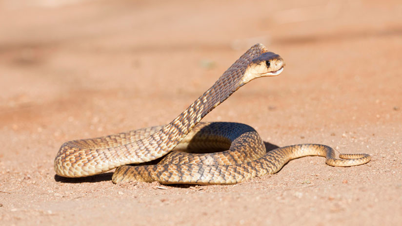 O combate encarniçado de duas cobras cuspideiras