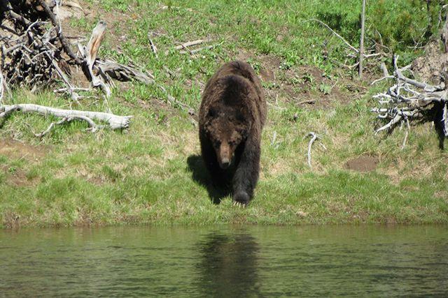 Urso-pardo tenta caçar um homem em um caiaque no Canadá