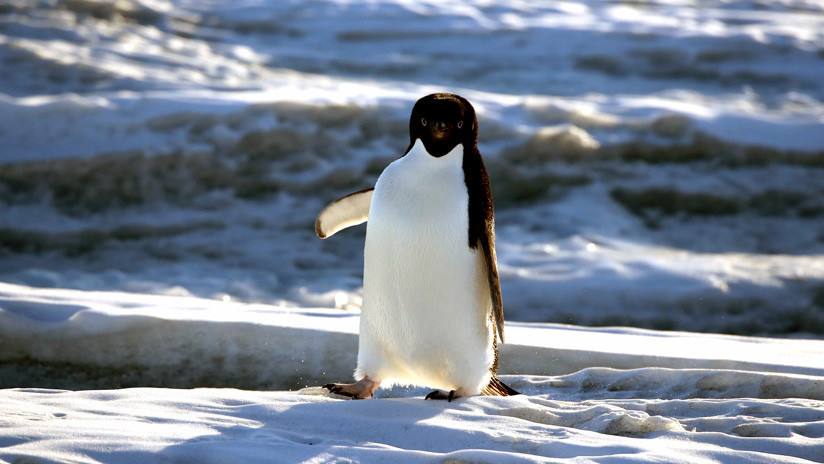 Um pinguim corre ao estilo Indiana Jones para não ficar isolado no gelo