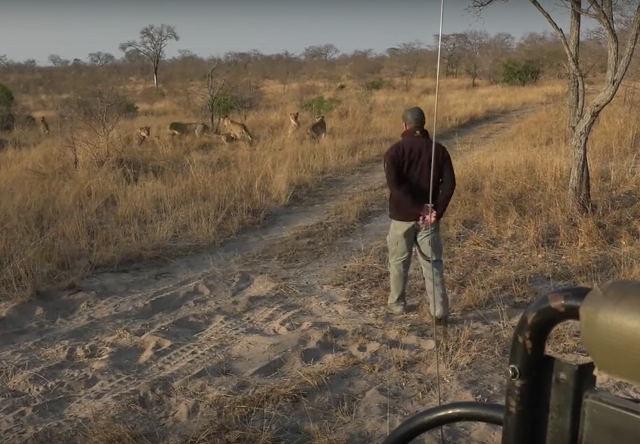 Guia de safári tem uma desagradável surpresa ao seguir as pegadas de leões camuflados entre o capim