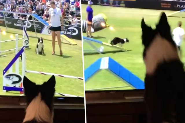 Border Collie assiste animada a sua performance de 'agility' na TV