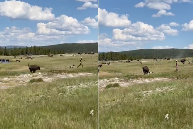 Americana se finge de morta para se salvar do ataque de bisões no Yellowstone