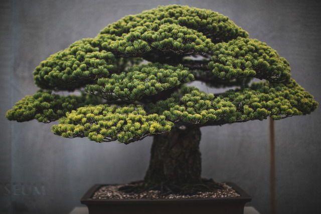 Bonsai de 396 anos sobreviveu à explosão atômica de Hiroshima e ainda floresce hoje