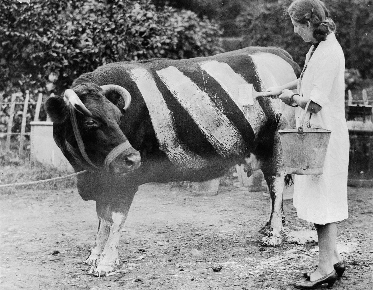 De aviões cor-de-rosa a vacas pintadas: o lado estranho da Segunda Guerra Mundial 07
